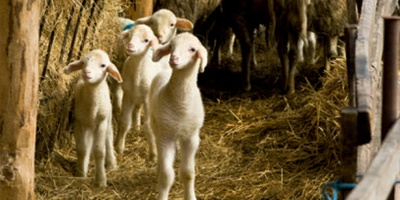 饲养绵羊、山羊和马匹